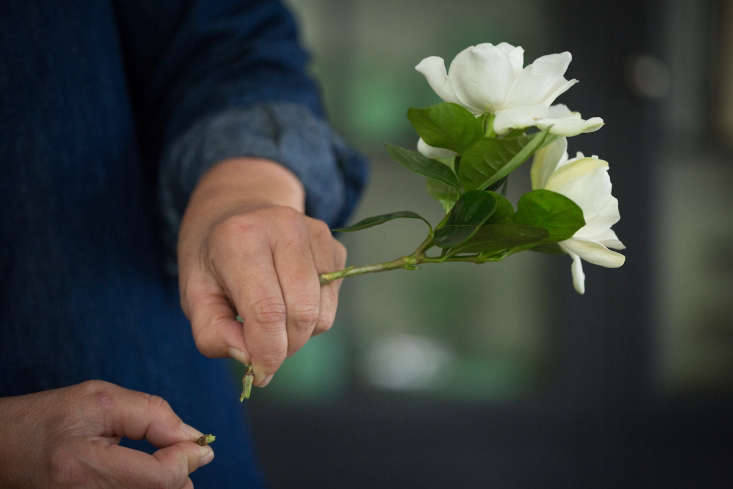 Like any cut flowers, the gardenias require conditioning before you put them into a vase. Instead of snipping the stem, snap it to create an angled cut to allow the flower to absorb maximum water.