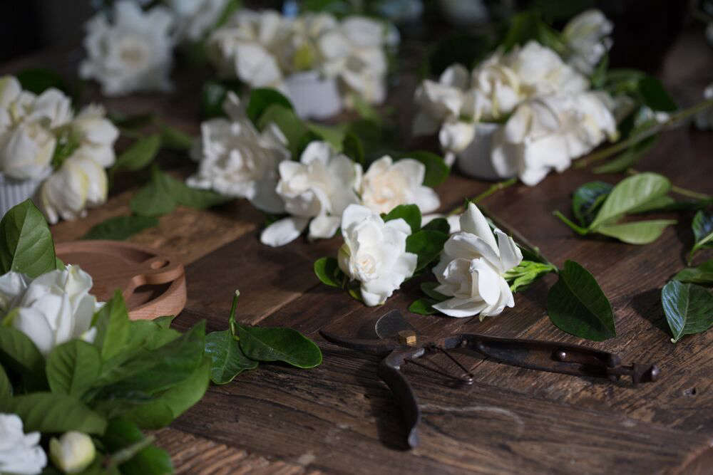 The common gardenia, which goes by the horticultural name Gardenia jasminoides, is native to Asia. It has been growing in temperate English gardens since the 00s. Photograph by Mimi Giboin.