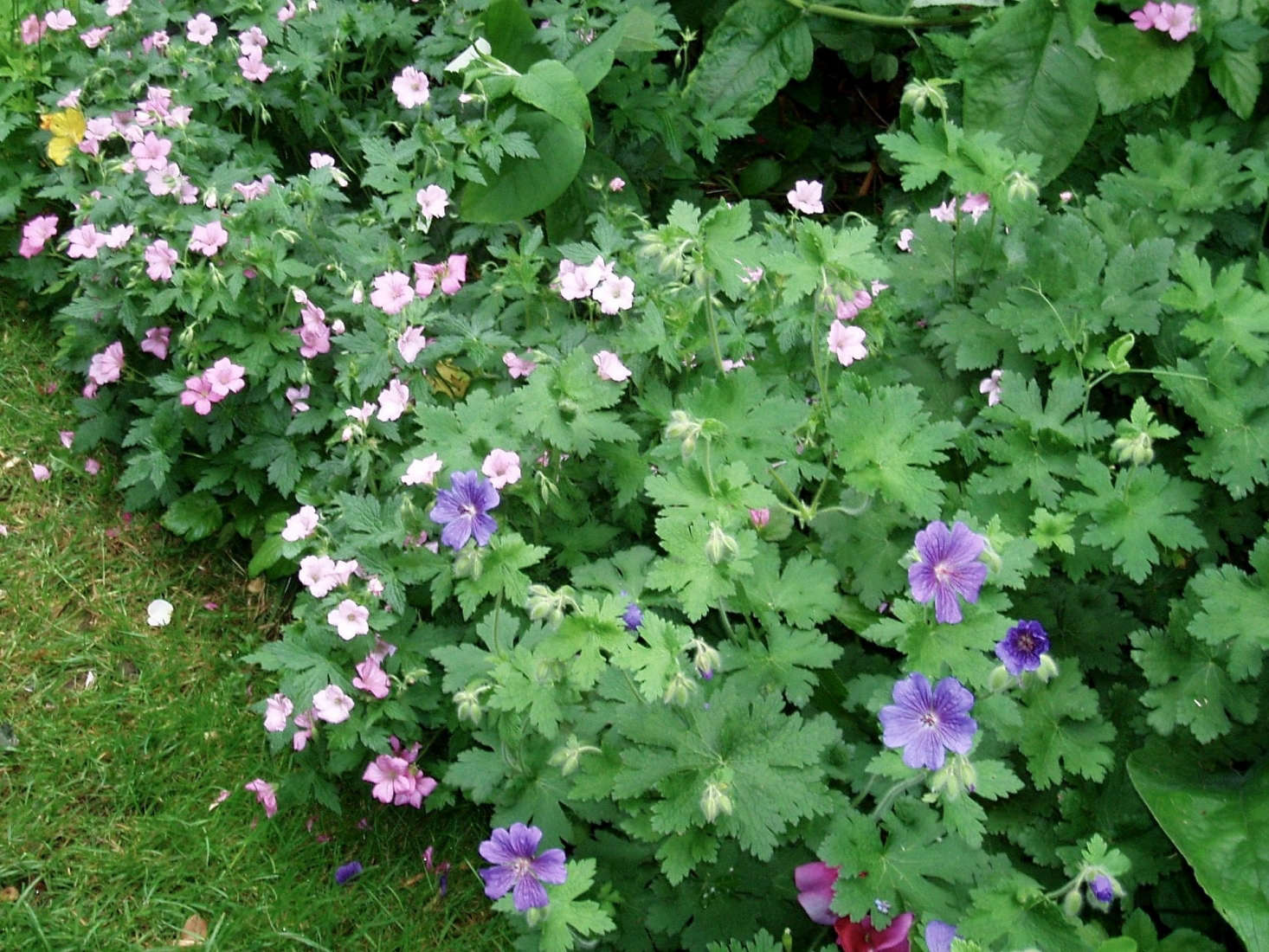 A border of geraniums edges a garden bed. Photograph by Amanda Slater via Flickr.