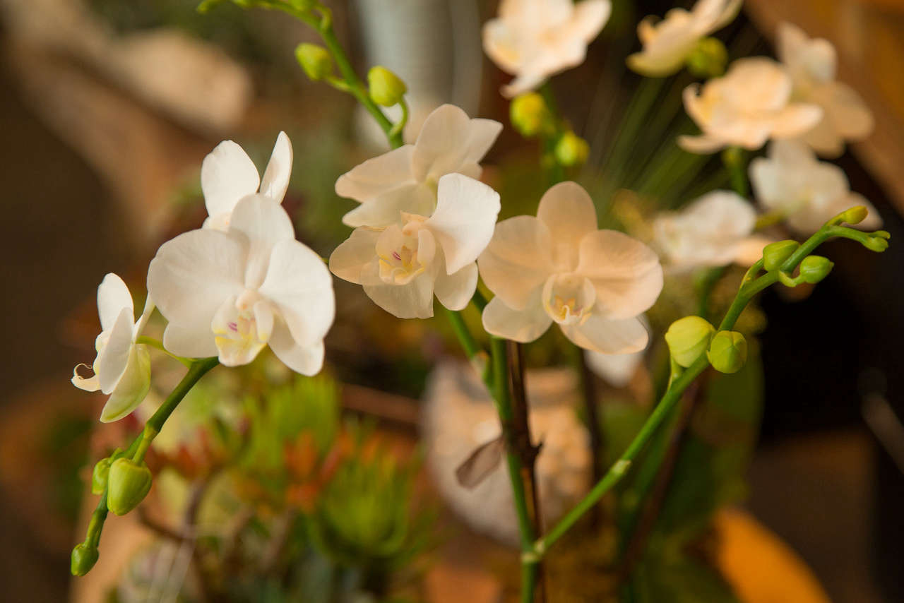 Phalaenopsis orchids (also known as moth orchids) &#8