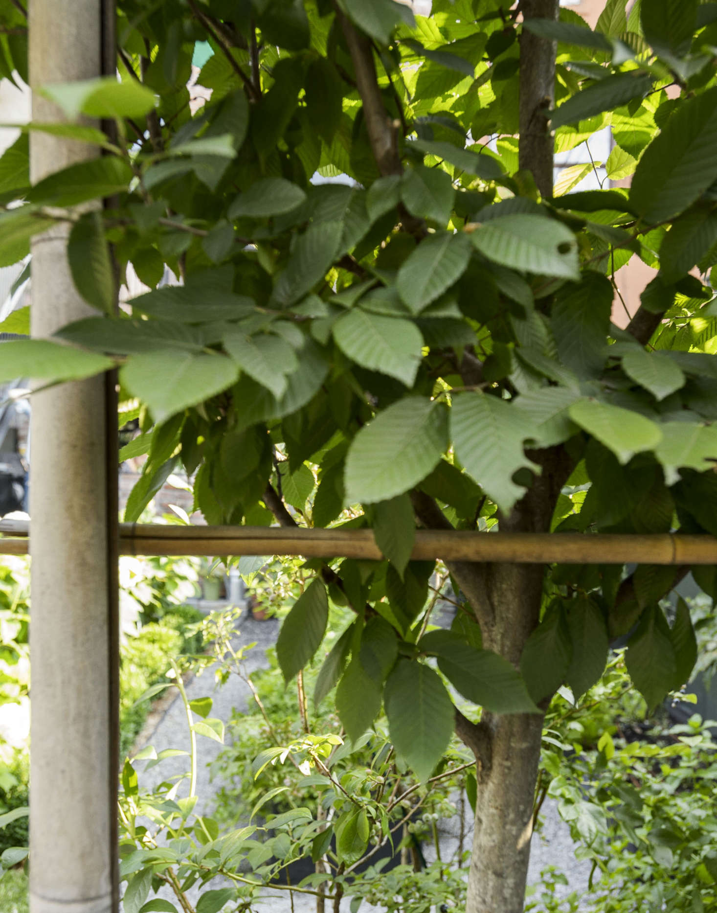 Pleached hornbeams. Photograph by Matthew Williams for Gardenista