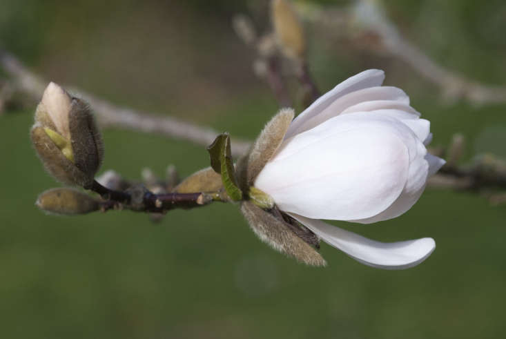 Shell-pink Magnolia x loebneri, spawn of M. kobus and M. stellata: a good variety for a smaller space.