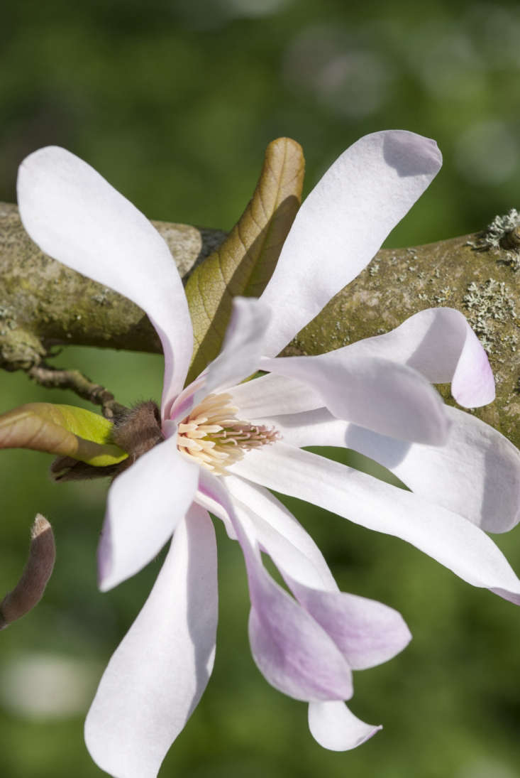 Magnolia x loebnerihas flowers that are more generous in size than the strap-like petals of its parentM. stellata.
