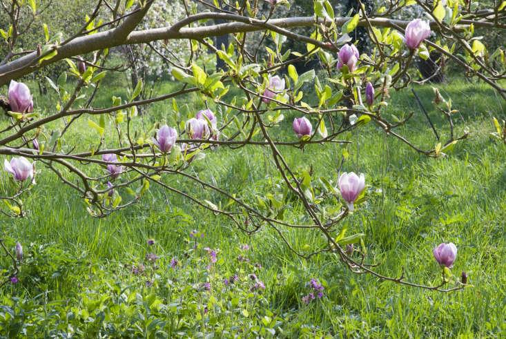 A magnolia flowering in spring.