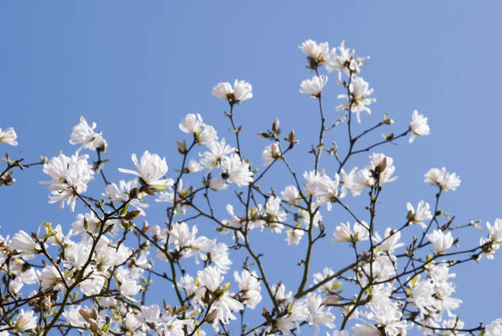 Magnolia stellata &#8\2\16;King Rose&#8\2\17;. The ideal is: petals first, leaves later.