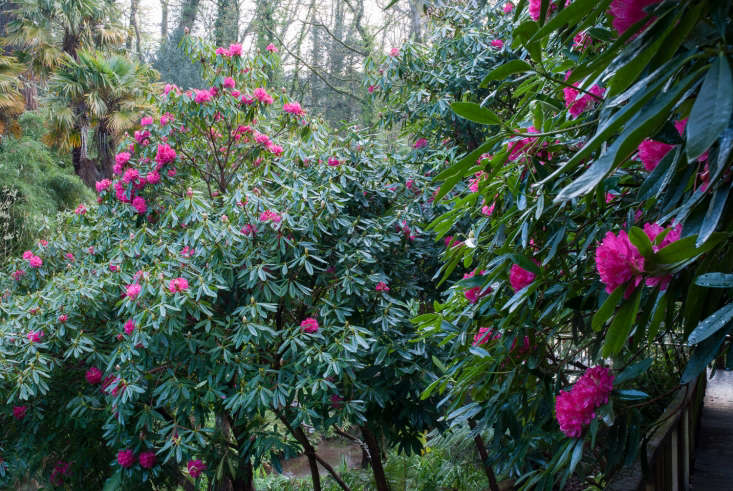 Jungly rhododendrons and palms in Cornwall.