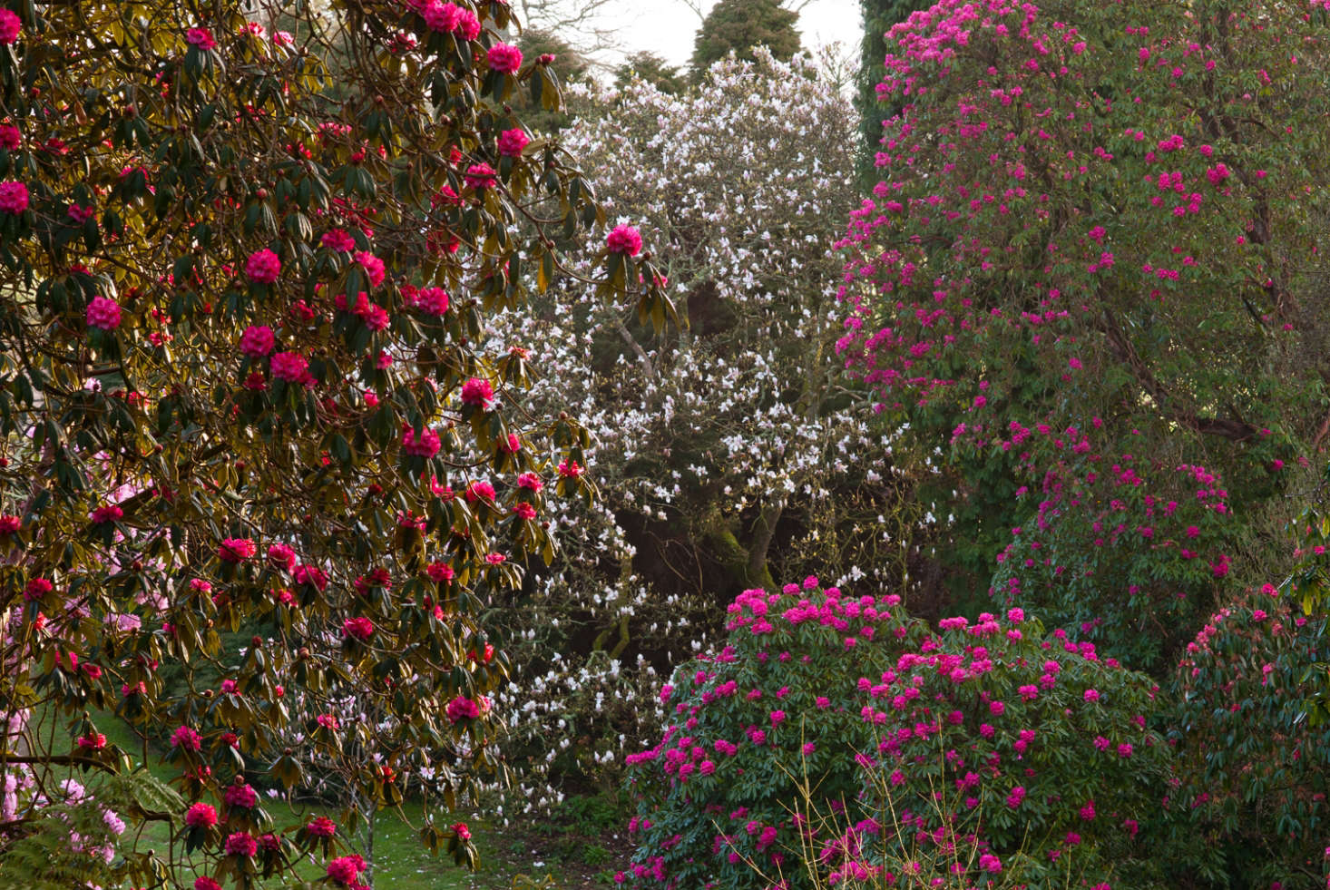 Super-sized rhododendrons in Cornwall.