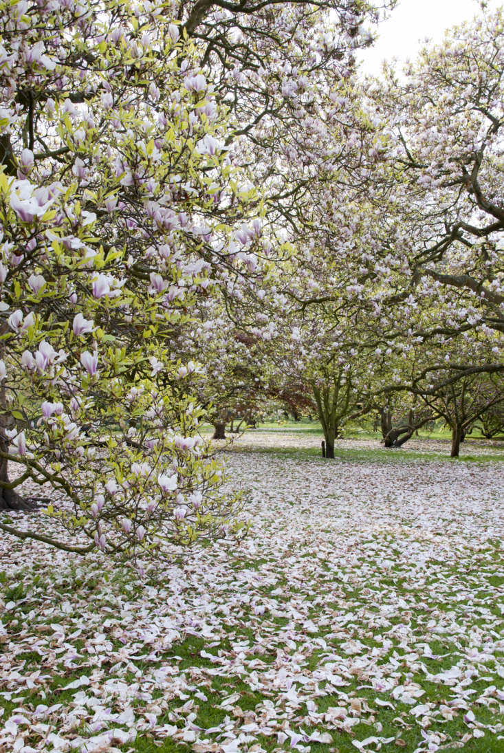 Magnoliasturning the grass pink in Wales.