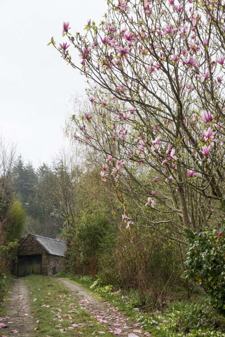 Magnolia growsby the Duchy of Cornwall Nursery, Cornwall.