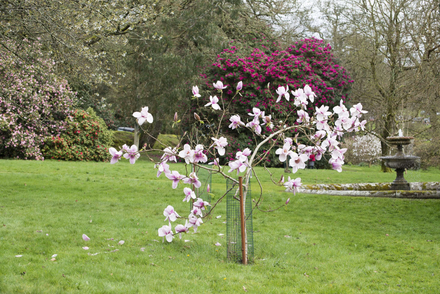 Magnolia 'Iolanthe'has bigblooms on a young tree. Photograph byHeather Edwardsfor Gardenista, fromFlowering Magnolias: 7 Favorite Trees to Plant.