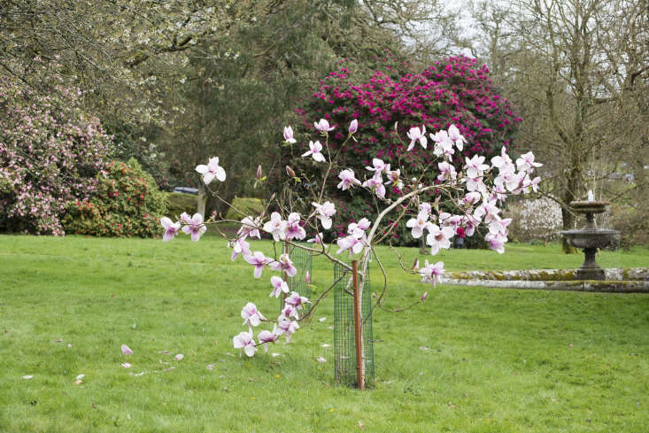 Magnolia &#8\2\16;Iolanthe&#8\2\17;has bigblooms on a young tree.