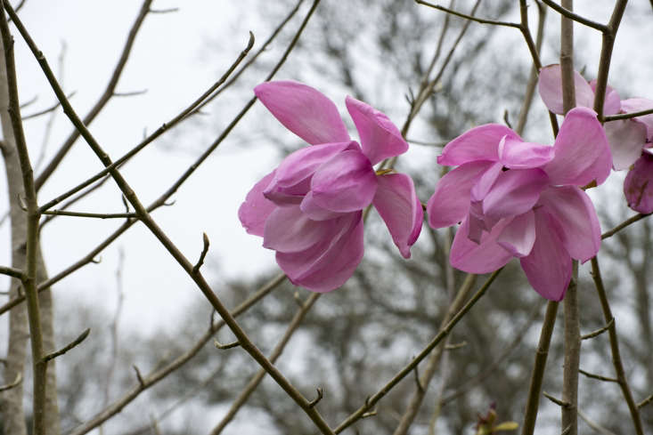 Magnolia sprengeri &#8\2\16;Diva&#8\2\17; is£55 from Burncoose, the nursery affiliated with Caerhays Castle in Cornwall.