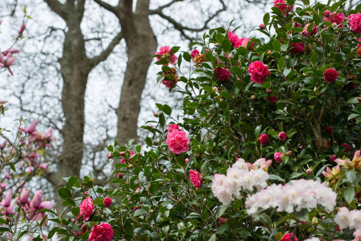 Camellia x williamsii &#8\2\16;Anticipation&#8\2\17;, with magnolia on the leftand subtle rhododendron on the right.