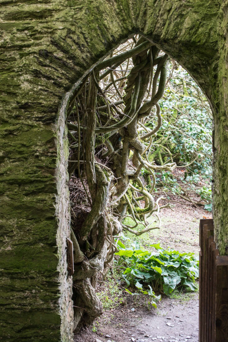 Rain and wind batters the estate but the garden thrives within a shelter belt of trees and giant shrubs. Pines provide a tall backdrop to troops of laurels and of course, rhododendrons.