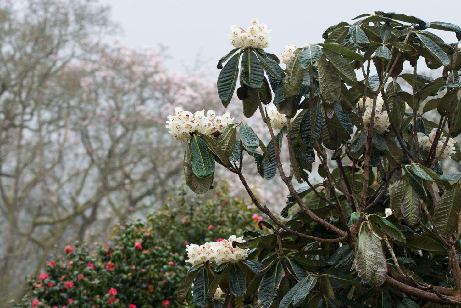 Rhododendrons at Caerhays in Cornwall.