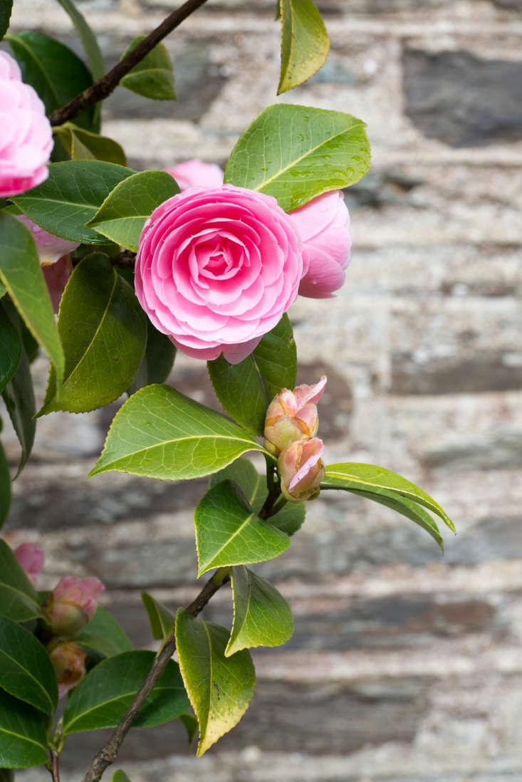 Camellia x williamsii &#8\2\16;E.G. Waterhouse&#8\2\17;: The perfect camellia.