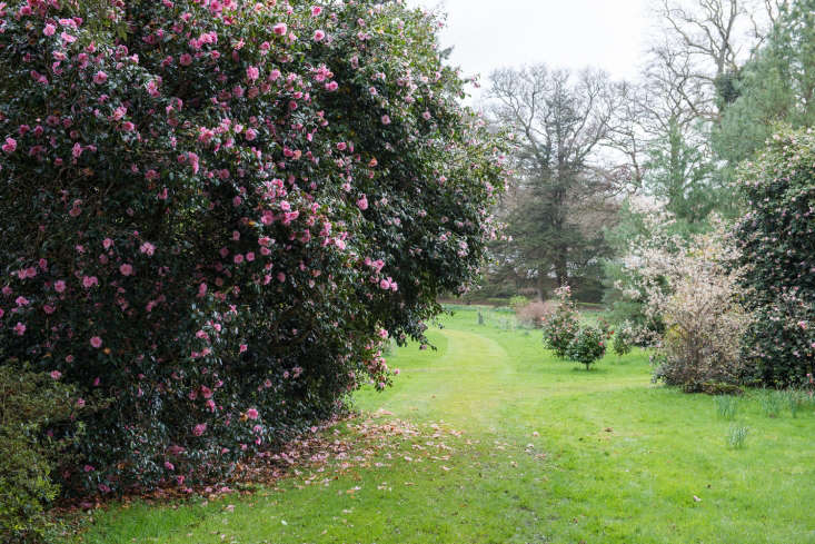 Camellias as giant shrubs, Cornwall.