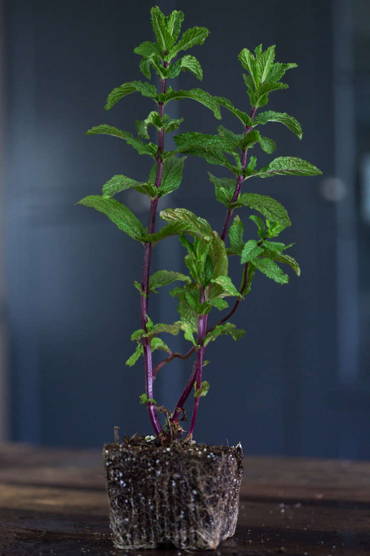 &#8\2\16;Kentucky Colonel&#8\2\17; Mint.A seedling in a 3-inch pot is \$4.95 from Mountain Valley Growers.