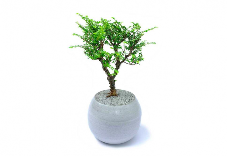 A deciduous species, a medium &#8\2\16;Kento&#8\2\17; The Lacebark Elm is \$90. Growing tips: &#8\2\20;Corky bark and naturally small serrated leaves give me a true bonsai look faster than others. I also grow a lot of leaf buds from my trunk, which means I grow quickly, and you get to choose the best branches to keep,&#8\2\2\1; says Dandy Farmer.