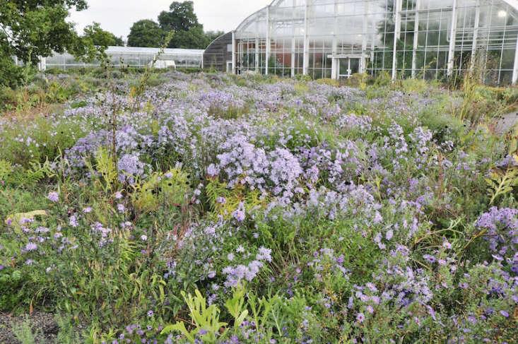 Purple asters in bloom.