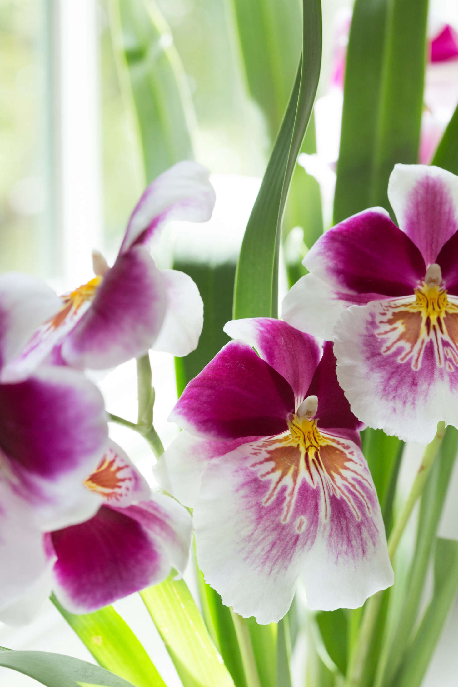 Known for its lovely perfume, a Miltonia orchid is the one that smells like Hawaii. Close your eyes and hear gentle waves as they wash over the warm sand at your feet.