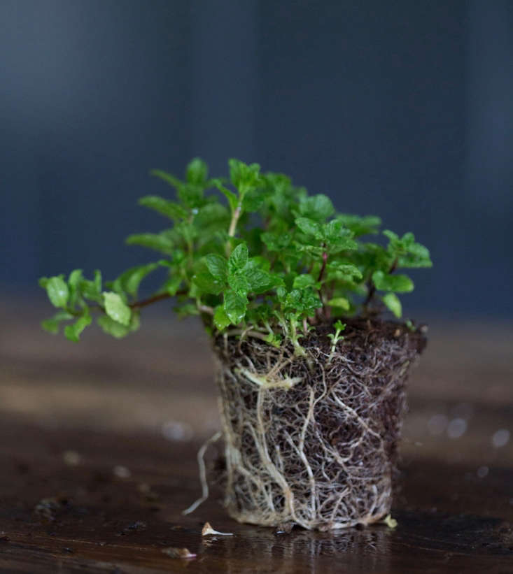 Moroccan Mint; a seedling in a 4-inch pot is $5.95 from Annie&#8