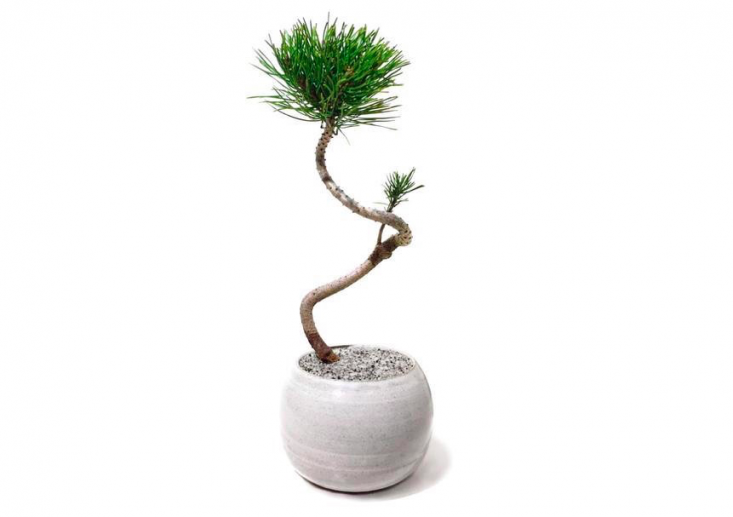 A medium size (5-inch diameter pot) bonsai,&#8\2\16;Fred&#8\2\17; the Mugo Pine is \$\1\10. Growing tips: &#8\2\2\1; I've been trained into this spiral shape. I prefer full or partial sun locations for optimal health. Open the window or take me out to get fresh air and sunlight from time to time,&#8\2\2\1; says Dandy Farmer.