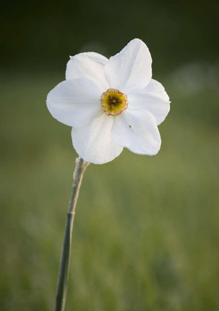 Narcissus &#8