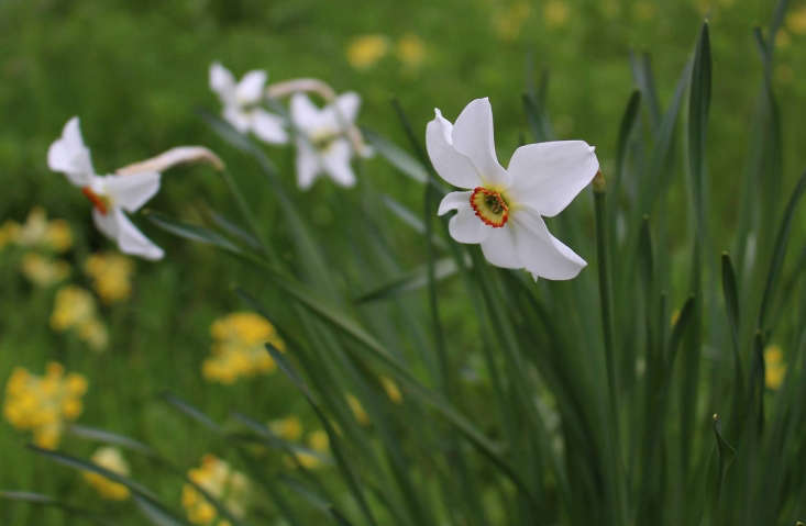 Narcissus poeticus &#8\2\16;Old Pheasant&#8\2\17;s Eye&#8\2\17;. Photograph by Kendra Wilson.