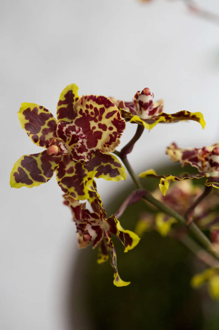 With ruffled petals, oncidiums typically bloom in shades of yellow, white, pink, or red.