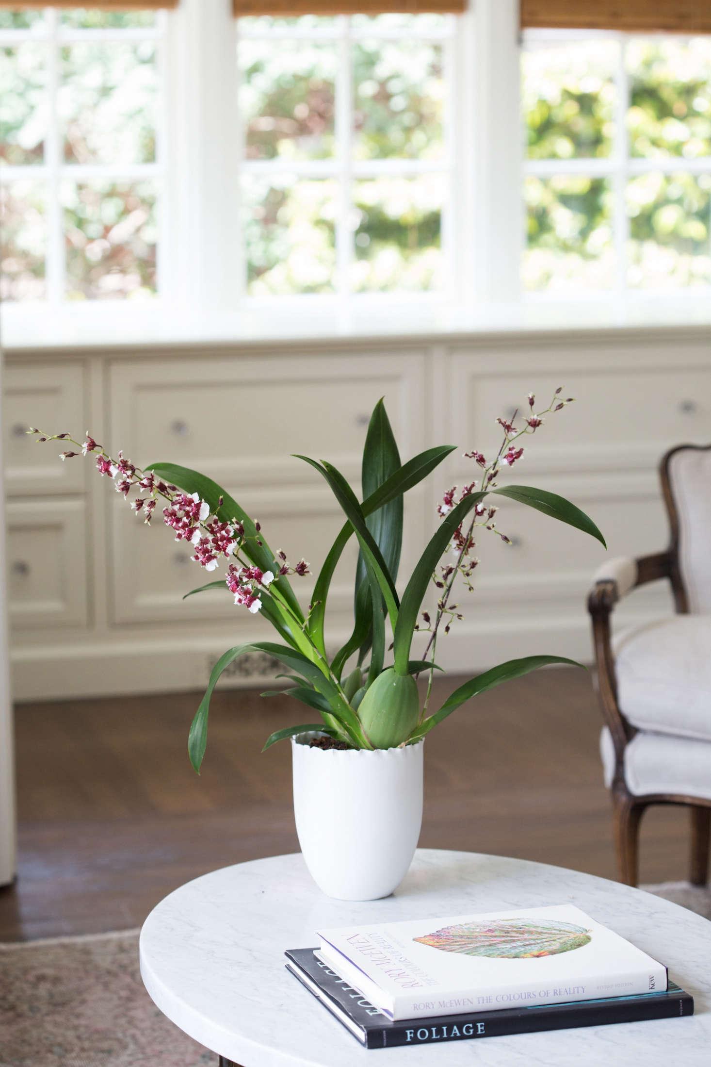 An oncidium, Sharry Baby has striking, speckled chocolate-colored petals; an Oncidium Sharry Baby in a 5 src=