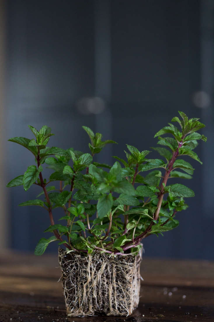 Peppermint; a seedling in a 4-inch pot is $5.95 from Annie&#8