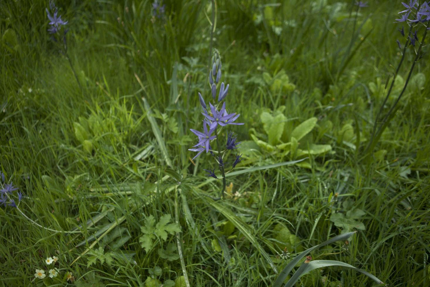Purple camassia,growing in grass.