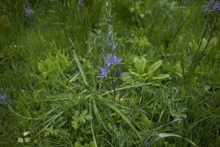 Purple camassia, growing in grass.