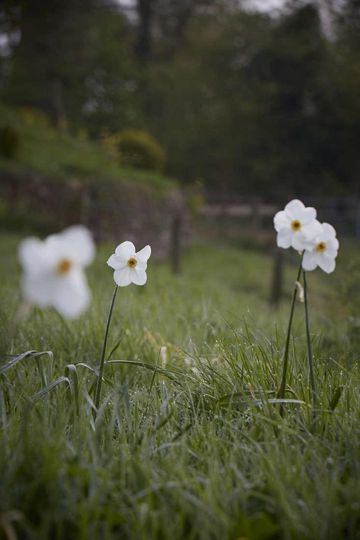 Narcissus poeticus &#8\2\16;Actaea&#8\2\17;.