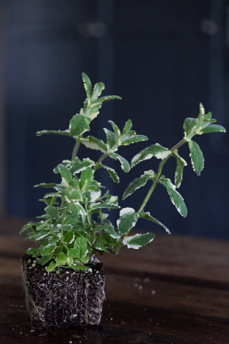Variegated Pineapple Mint; a seedling in a 3.5-inch pot is $6.95 from Greenwood Nursery.
