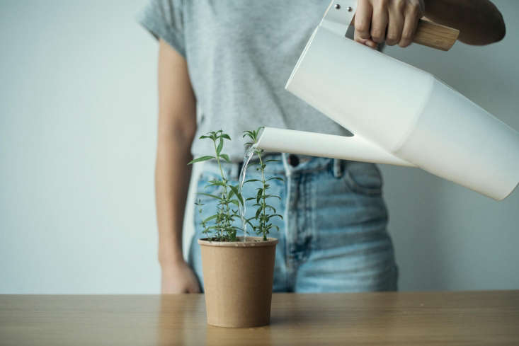 When theseedlings reach a height of 3 t0 4 centimeters, they can be moved toa bigger planteror to a garden, container and all. Rhoeco&#8\2\17;s teas are sold throughout Europe—and the company hopes they&#8\2\17;ll be coming to the US soon. In the meantime,find a list of online sellers here.