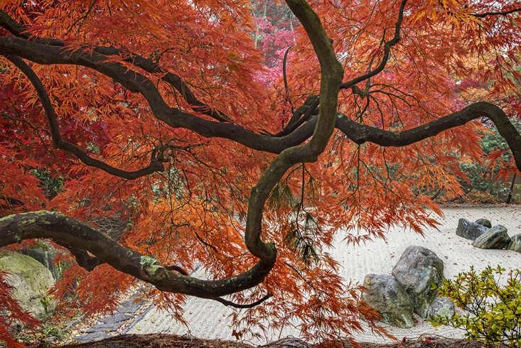 Sunlight enhances the vivid autumn red and orange of Japanese maples near the kare-sansuiin the Japanese garden at Kykuit.