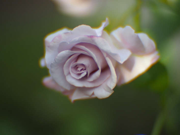 Blue Ribbon rose. Photograph by Takashi M via Flickr. A fragrant Blue Ribbon Rose is \$38 at Heirloom Roses (sold seasonally; currently out of stock).