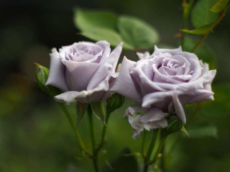 Blue rose &#8\2\16;Seiryu&#8\2\17; by Takashi M via Flickr.