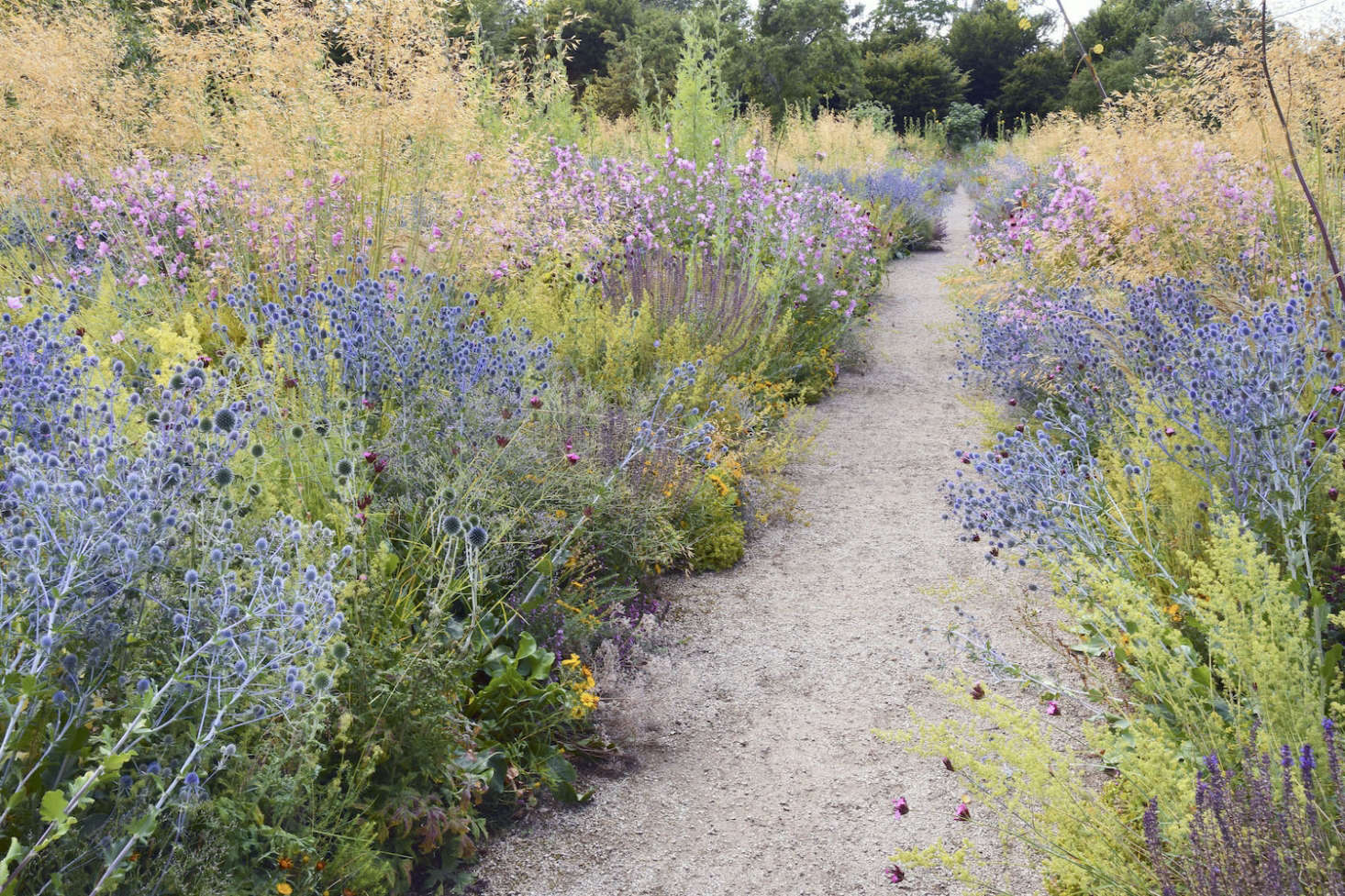 Stipa giganta and wildflowers edge a gravel path in the Merton borders at University of Oxford Botanic Garden.