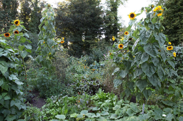 &#8\2\20;I think I may be more at home here than anywhere.&#8\2\2\1; Giant sunflowers on Plot \29, London.
