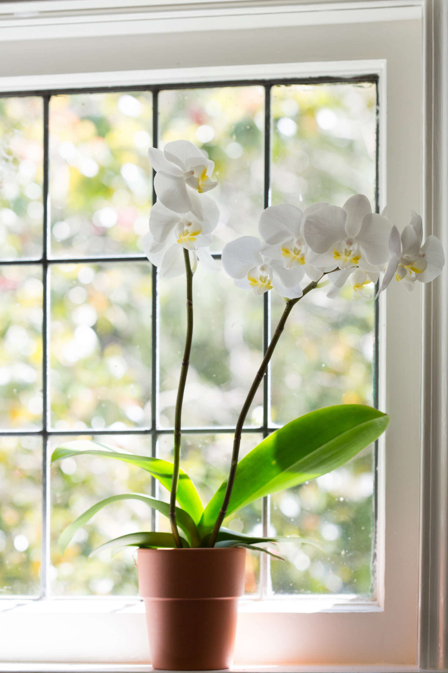 For a similar flower, aWhite Moth Orchid in a five-inch cachepot is $59 from White Flower Farm.