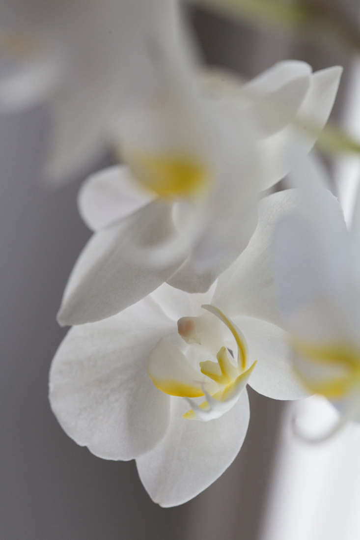 Once established, a moth orchid will bloom year after year. &#8