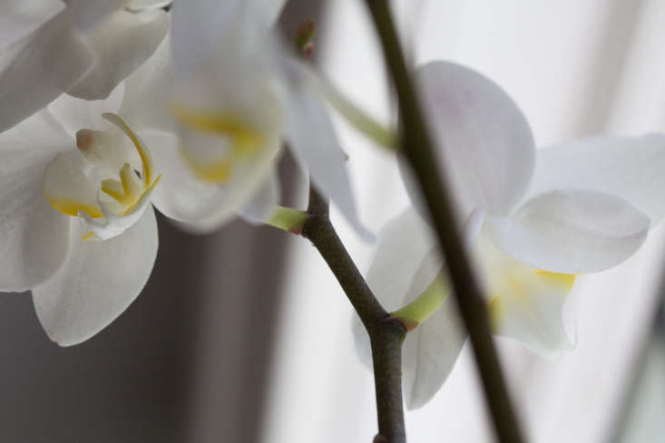 In the wild, many moth orchids thrive in humidity and moist climates, in filtered sunlightbeneath a canopy of trees. Keep them out of harsh, direct sunlight.