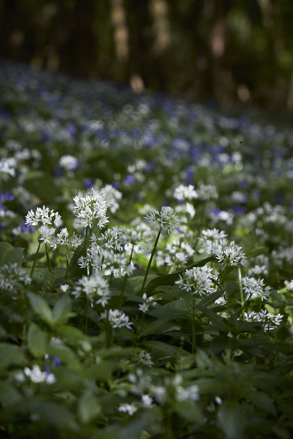 Wild garlic is a type of chive.