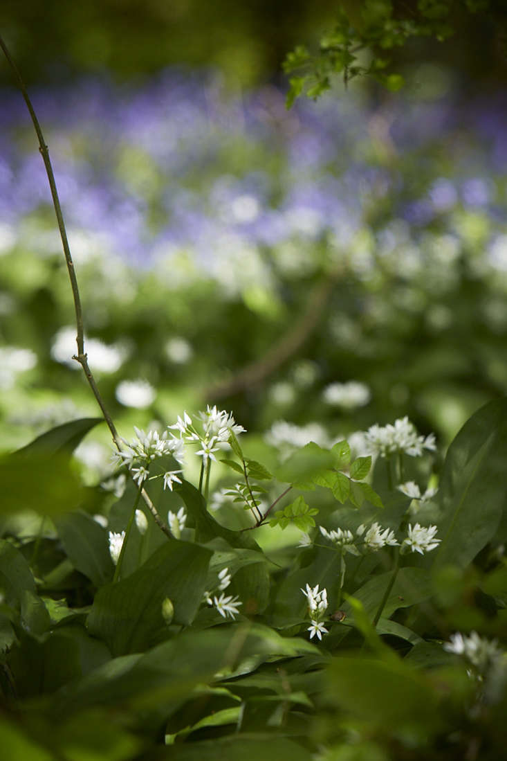 Wild garlic in a British wood.
