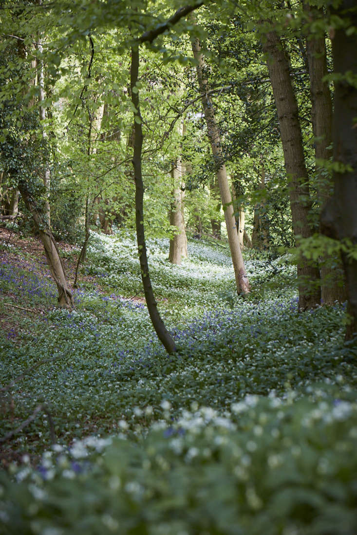 Wild garlicmingling with bluebells in a beech wood.