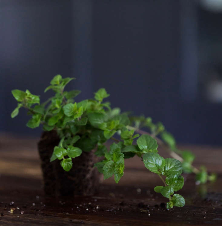 Yerba Buena, also called Indian Mint, is an aromatic rambler. A seedling in a 4-inch pot is $7.95 from Annie&#8