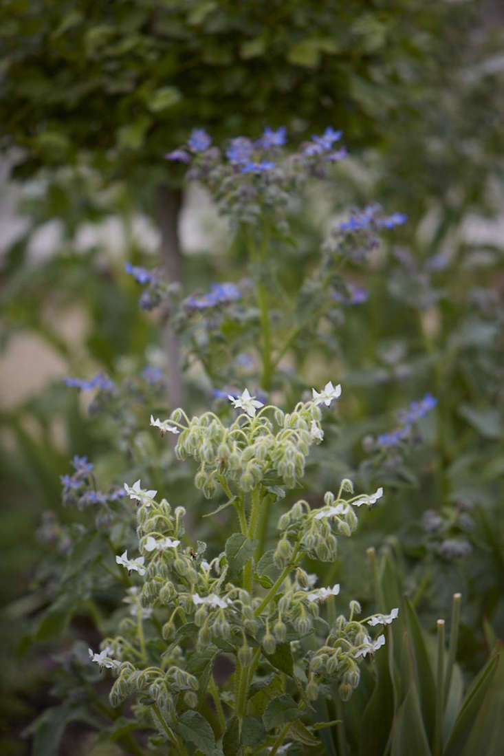Borage is good for diversity in a walled garden, encouraging pollinators around flowers as well as vegetables.